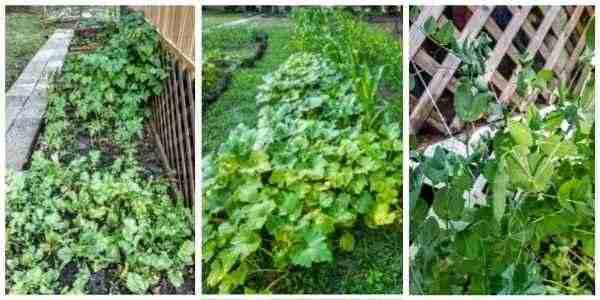 Peas, squash, beans and herbs