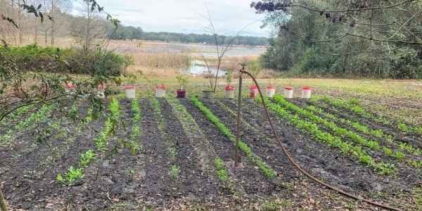 First signs of vegetables in the garden