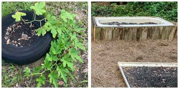 2 garden methods, in a tire and in a raised bed