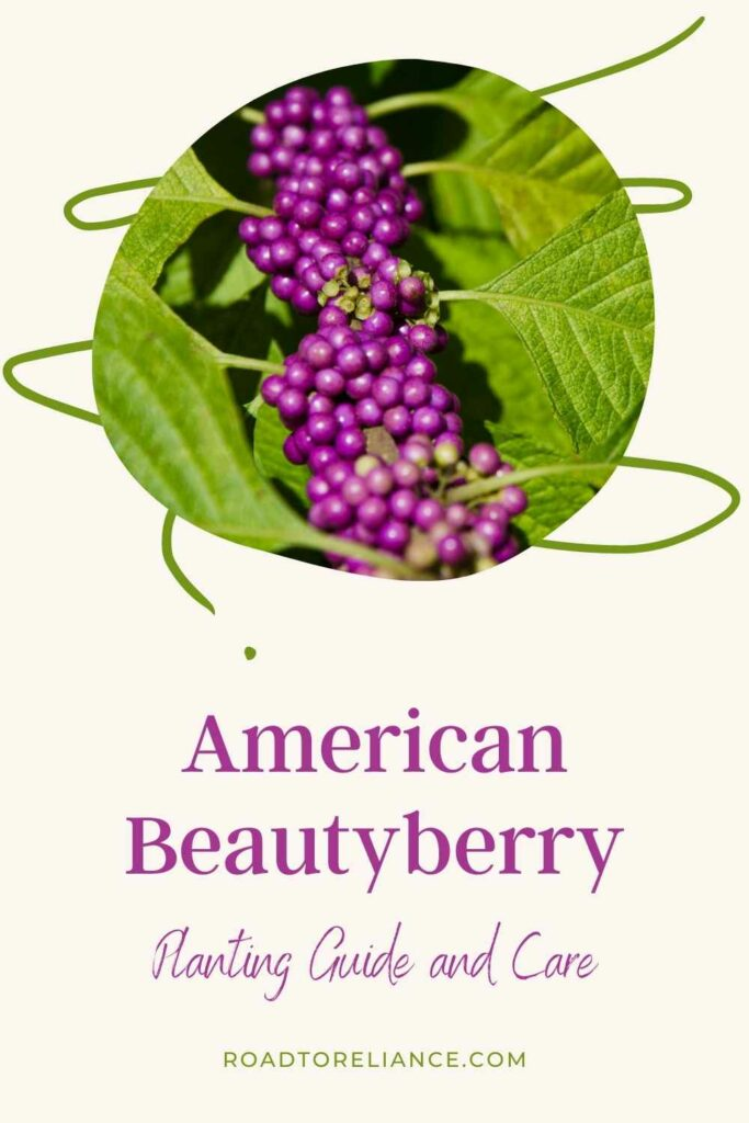 If you live in zones 5 - 11, you are already familiar with the American beautyberry! This guide will teach you how to plant, care, and prune this versatile yet showy perennial shrub.