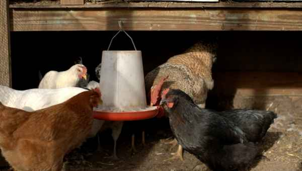 Chickens eating from a hanging trough