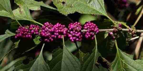 Beuatyberry branch