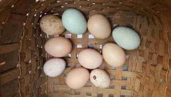 Eggs feshly laid